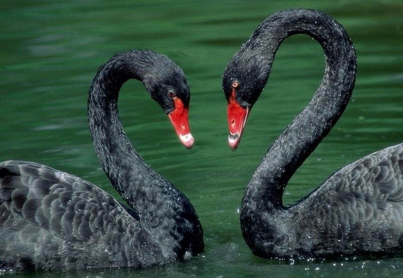 Bonjour.... avec 2 magnifiques cygnes noirs