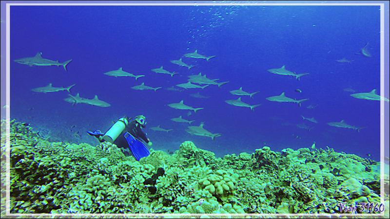 Plongée au milieu des requins gris de la passe Tumakohua (passe sud) - Atoll de Fakarava - Tuamotu - Polynésie française
