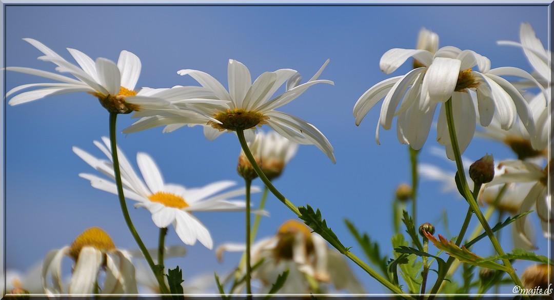 Fleurs sauvages - marguerites