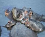 Jeux de mots avec le son /m/ - maki, hamster et hippopotame