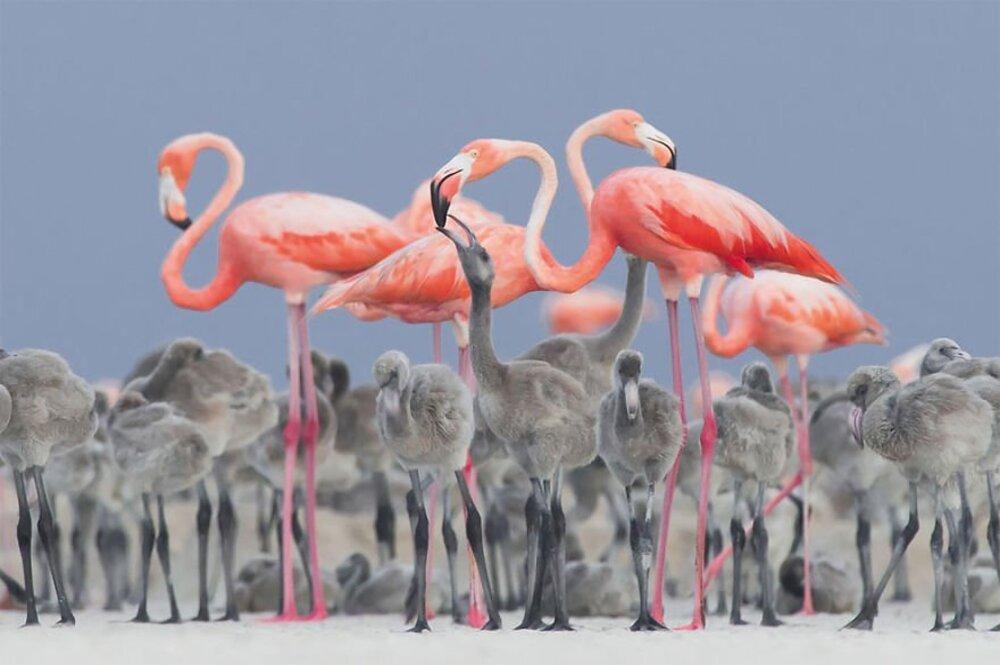 Flamants roses nourrissant leurs petits / Alejandro Prieto Rojas, Mexique — Médaille d'or et photographe ornitologique de l'année, vainqueur dans la catégorie meilleur portrait