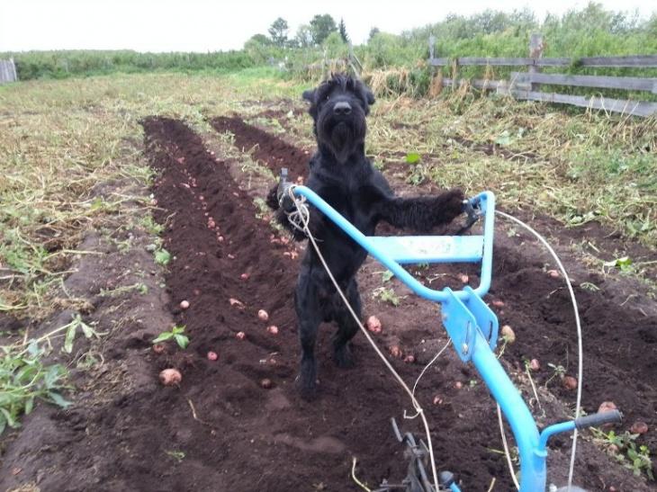 Je suis un chien et je cultive des pommes de terre