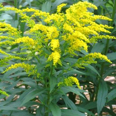 Solidago nain 'Sweety' ® - Verge d'Or - Vente en ligne de plants de Solidago  nain 'Sweety' ® - Verge d'Or pas cher | Leaderplant