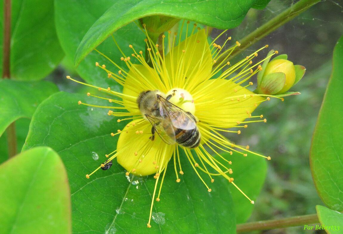 des fleurs - Hypéricums