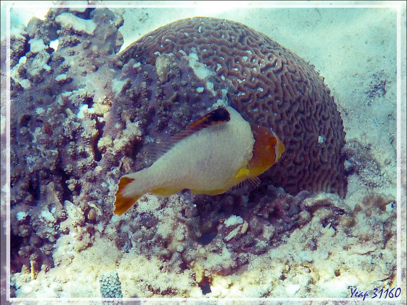 Snorkeling à Nosy Tsarabanjina : Juvénile Poisson-Perroquet bicolore, Bicolor parrotfish (Cetoscarus ocellatus) - Archipel Mitsio - Madagascar