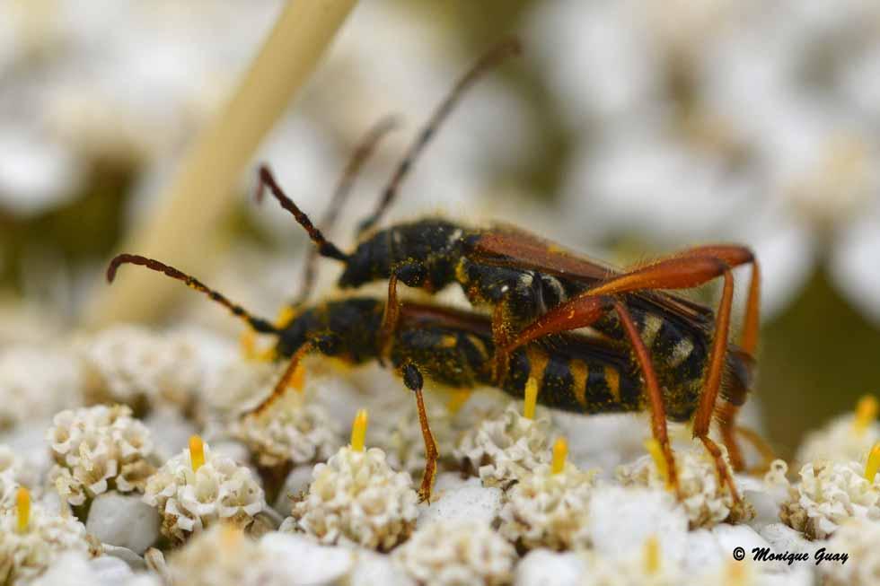 Accouplement de coléoptères
