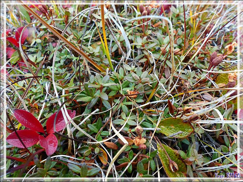 Rhododendron de Laponie, Lapland Rosebay, Qijjuttaaqpait tipilitt (Rhododendron lapponicum) - Edinburgh Island - Nunavut - Canada