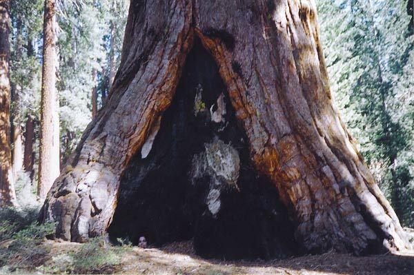 Base d'un Séquoia géant