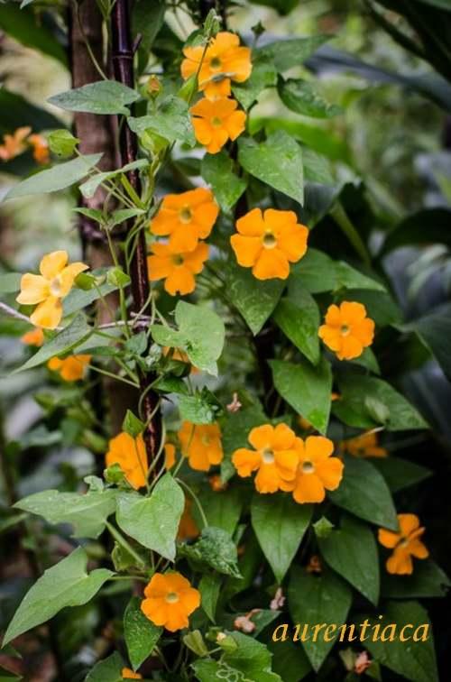 Plante d'Intérieur : THUMBERGIA  (Acanthacées)