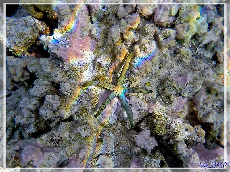Comète de mer, Astérie-comète, Comet starfish, Dalmatian linckia starfish (Linckia multifora) - Moofushi - Atoll d'Ari - Maldives
