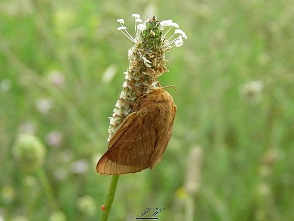 Bombyx du chêne femelle