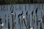 Mouettes rieuses et Grands Cormorans