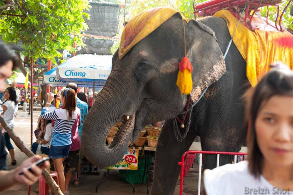 """L'éléphant quémande des bananes dans le public. Le parasol visible signé Chang """"nom de l'éléphant en thaï"""""""