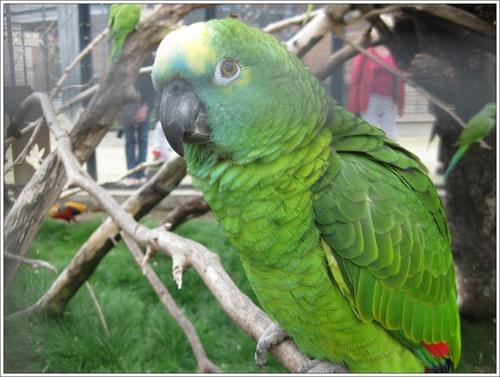 Un perroquet femelle : Sasha