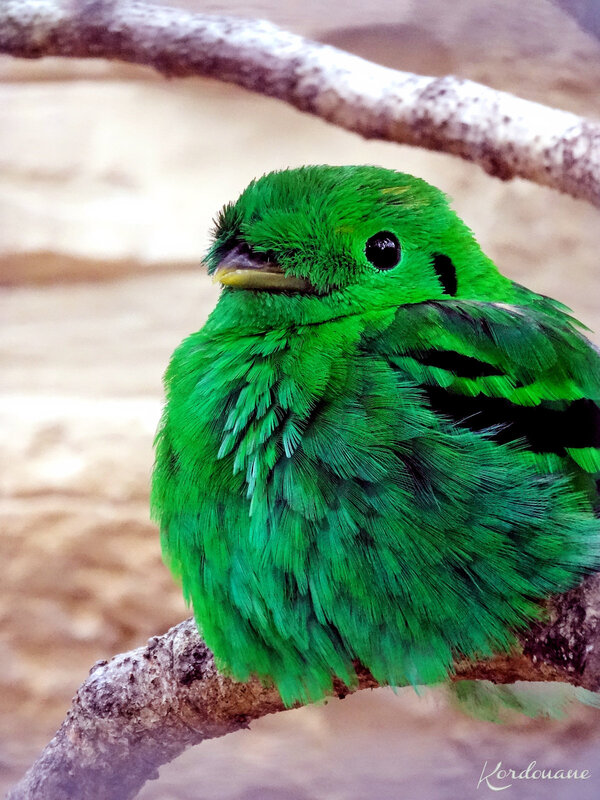 Photo d'un Eurylaime vert - Zoo de Beauval
