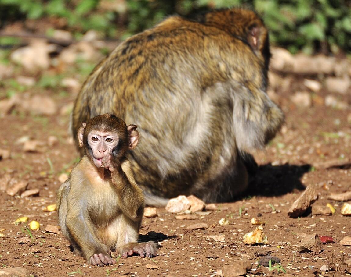 """"""" scènes de la vie quotidienne chez les macaques"""""""
