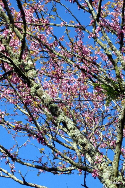 L'arbre de Judée fleurit