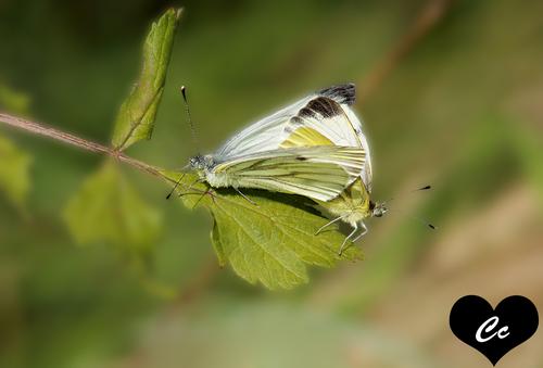 Papillons en pleins acte sexuel