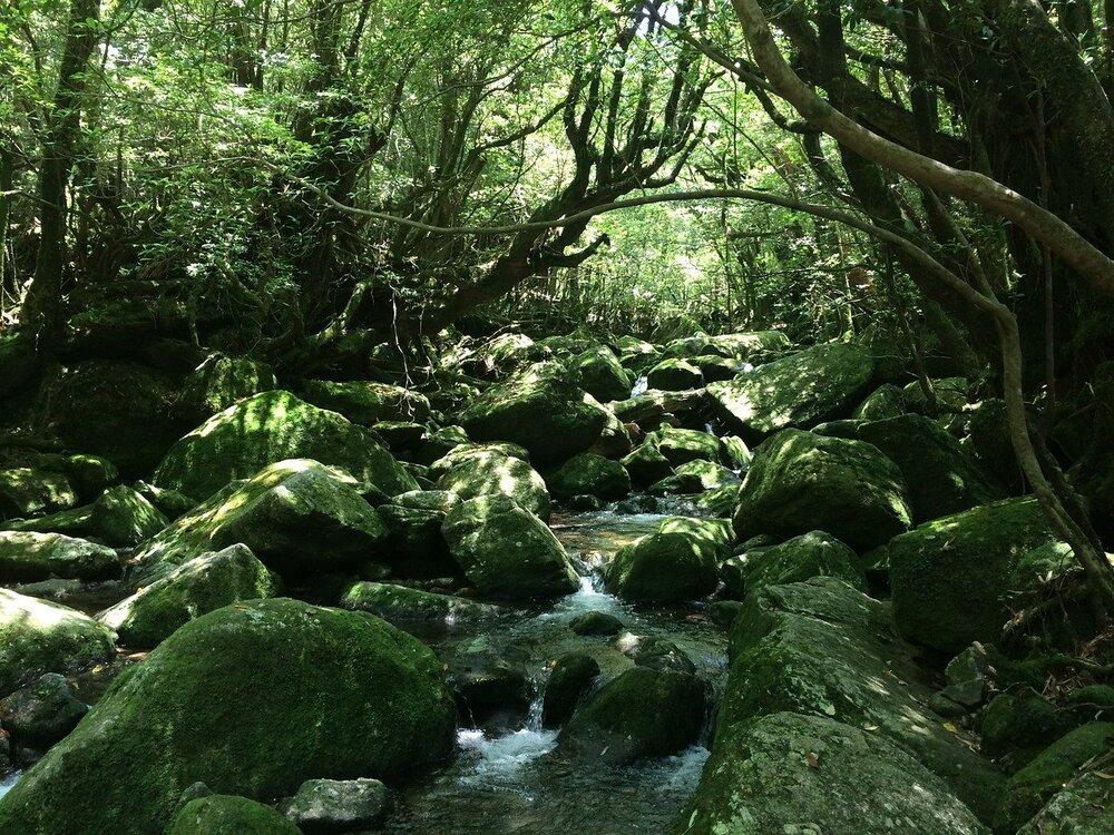 Plongez dans la forêt tropicale de Yakushima, l'une des plus envoûtantes du monde