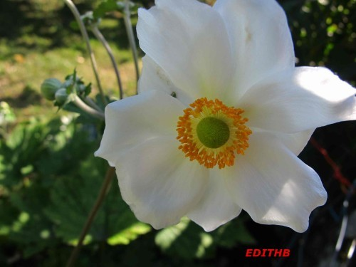 ANEMONE DU JAPON (4) - Copie