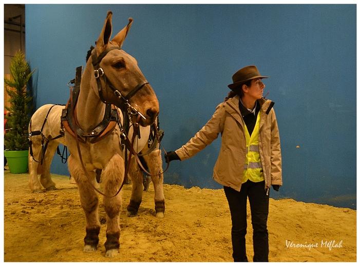 Salon International de l'Agriculture : Un mulet poitevin qui se fait remarquer !
