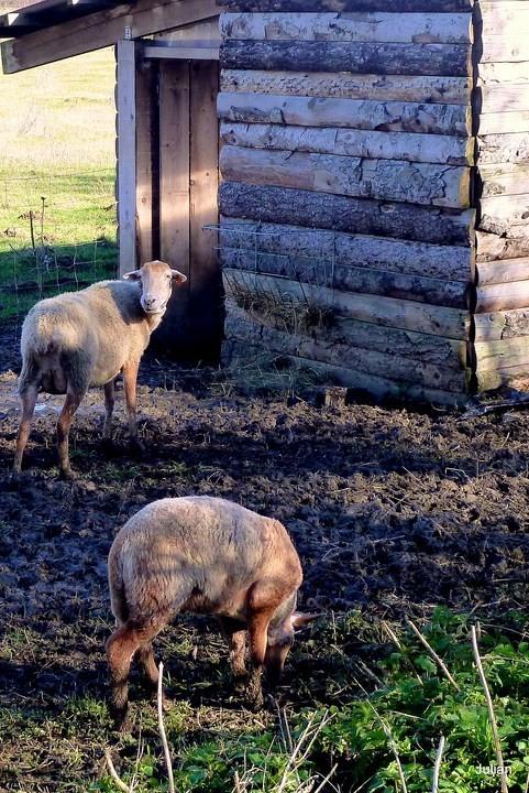 o12---2-moutons.JPG