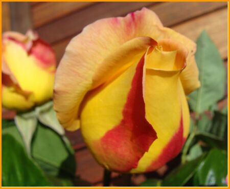 Rose_jardin_2010__3_