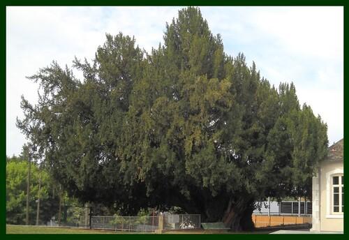 Un arbre extraordinaire !