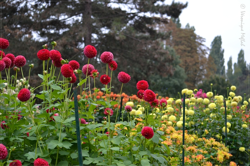 Parc Floral de Paris : 27e édition du Concours International de Dahlias