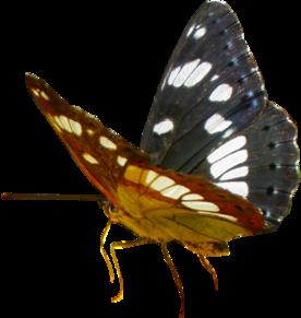 Tubes papillon Sylvain azuré