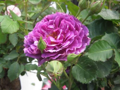 La rose n° 76 pour Jean Pierre : avec des boutons