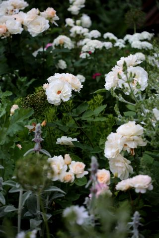 Les Roses de Warren : Natural Blonde