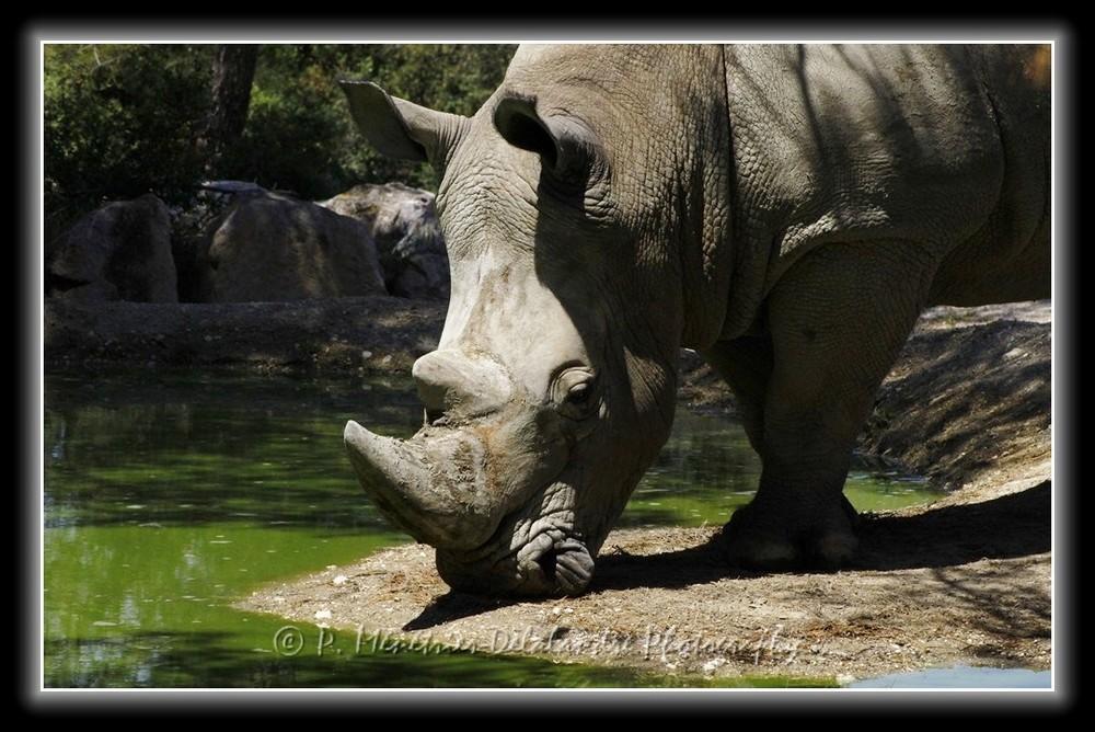 Rhinocéros blanc...