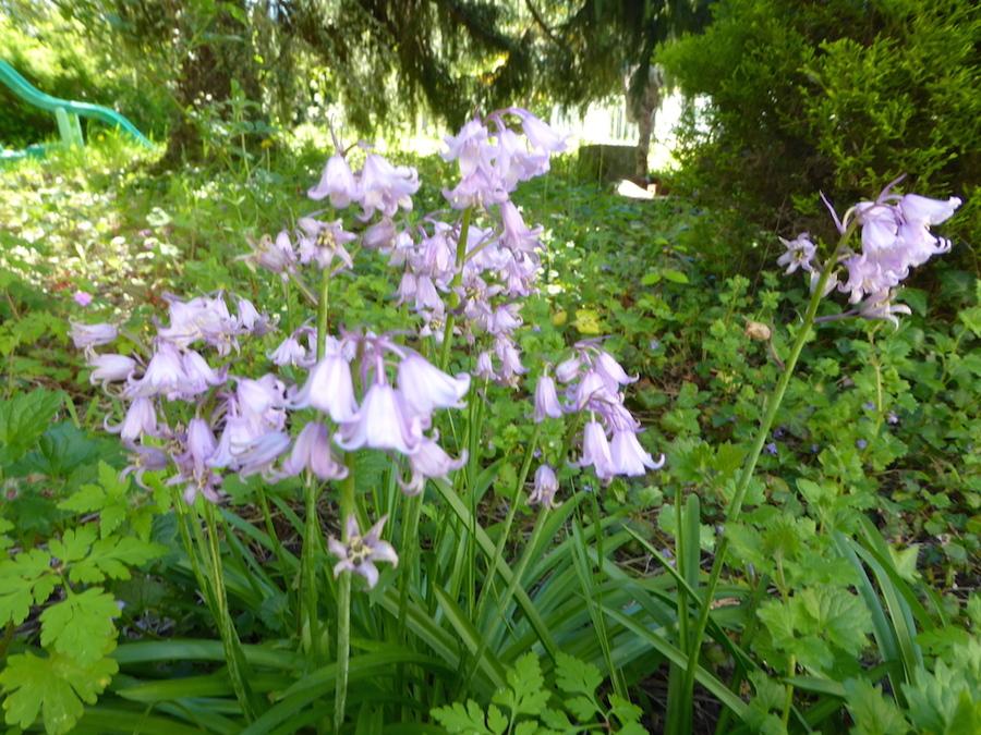 Notre jardin à contre temps début mai!