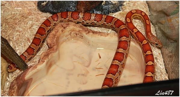 Reptiles-4952-elaphe.jpg