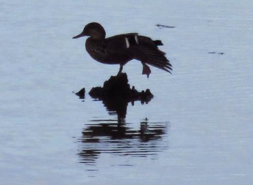 oiseau sur l'eau