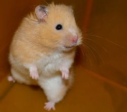 hamster syrien creme