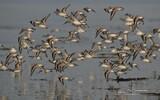 Bécasseau sanderling - p307