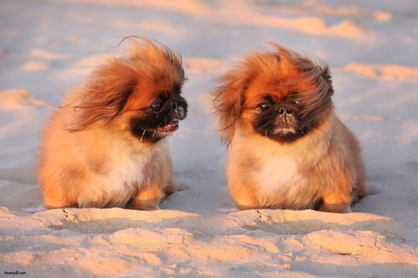 Races de chiens:  Pékinois