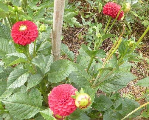 - Retour du dahlia pompon orange ! - Retour sur Zoé - et une fleur mexicaine -