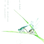 libellules (agrion de mercure)