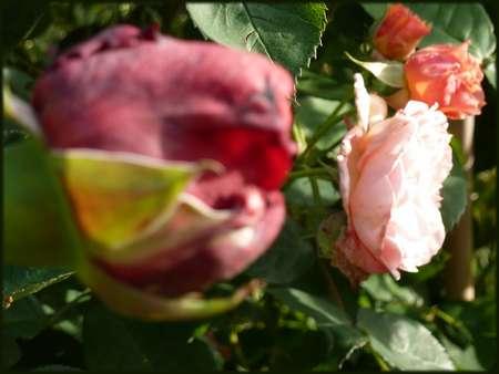 La Rose des 4 vents