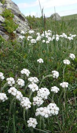 Les paturage fleuri en tourbiere d'Aubrac