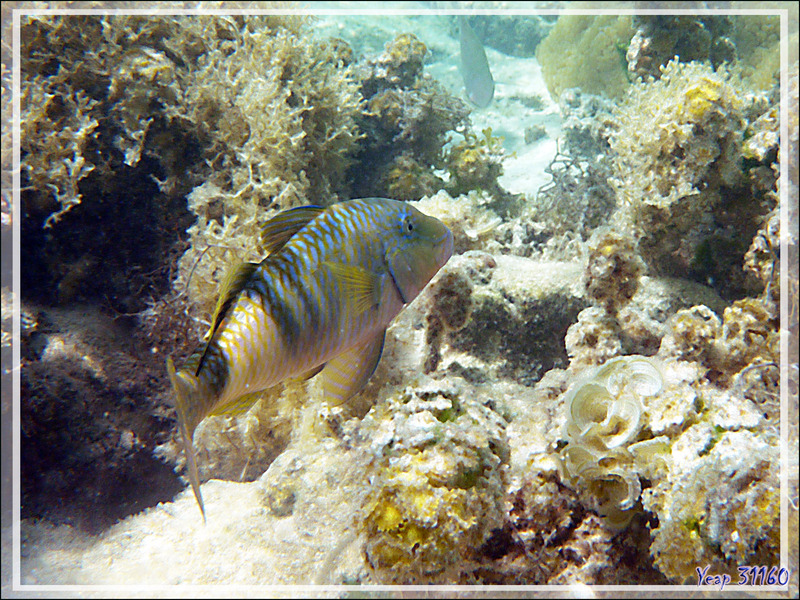 Rouget-barbet à trois bandes, Manybar Goatfish (Parupeneus multifasciatus) - Moorea - Polynésie française