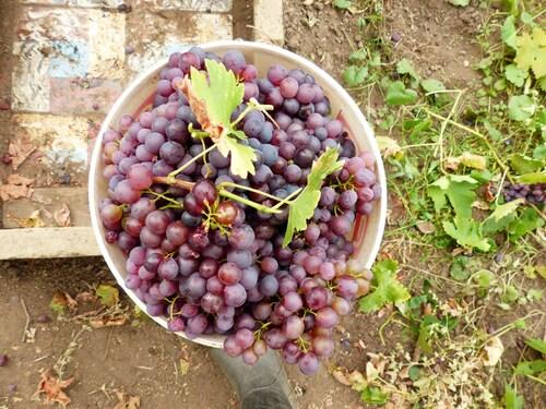 Récolte du raisin