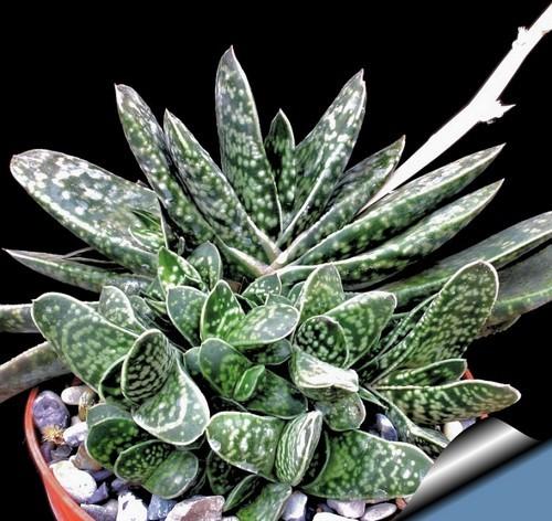 Gasteria bicolor liliputiana 810