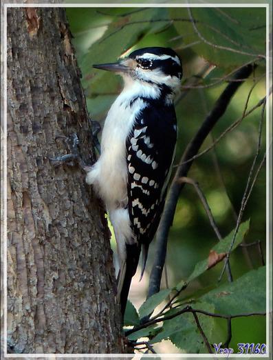 Pic mineur, Downy Woodpecker (Picoides pubescens) - Rawdon - Lanaudière - Québec - Canada