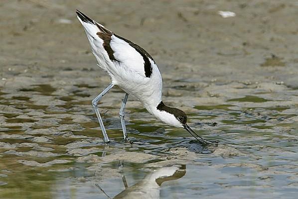 800px-Saebelschnaebler (Recurvirostra avosetta)