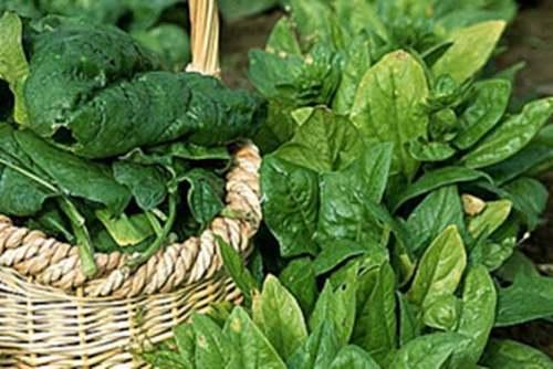 Vertus médicinales des légumes et des fruits : EPINARD