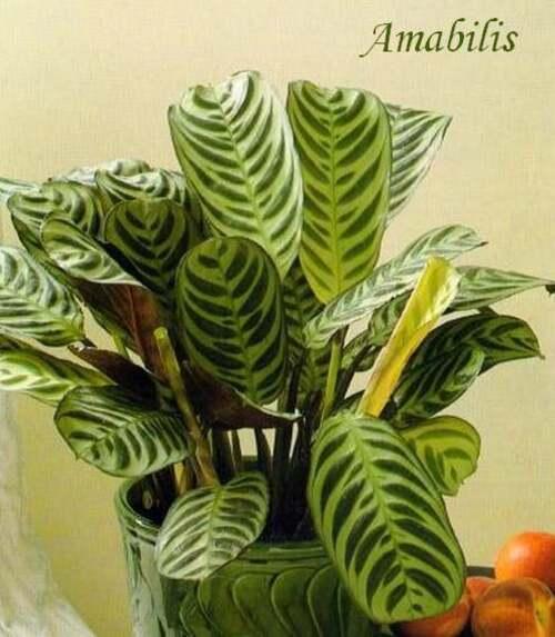 Plante d'Intérieur : SROMANTHE  (Marantacées)